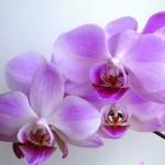 orhidea_vspalne3