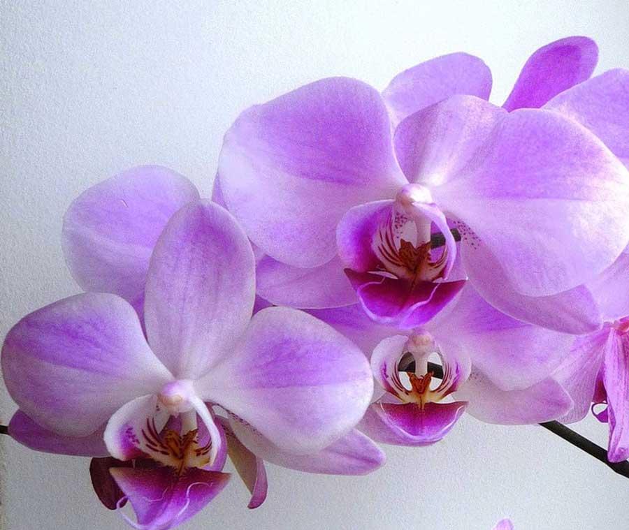 Орхидея фото и фотошоп