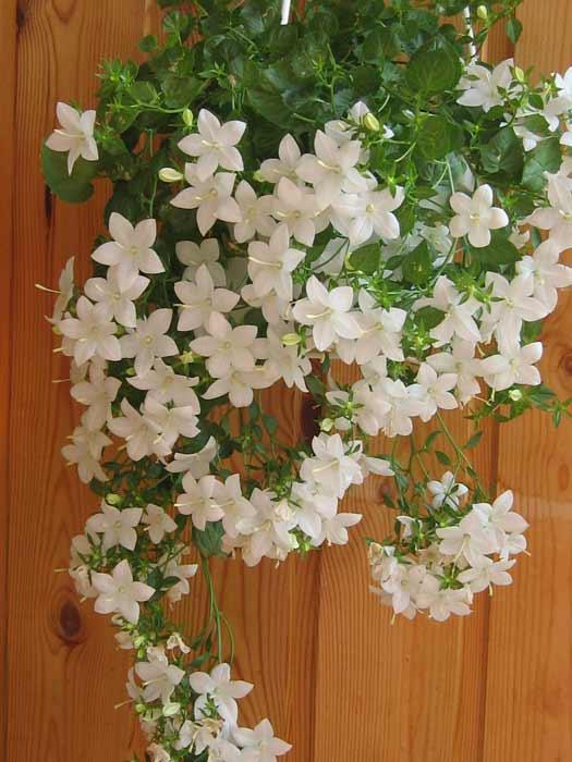 Невеста цветок домашний