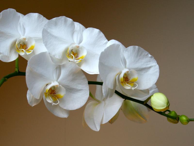 Пересадка_орхидеи03