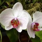 Пересадка_орхидеи09