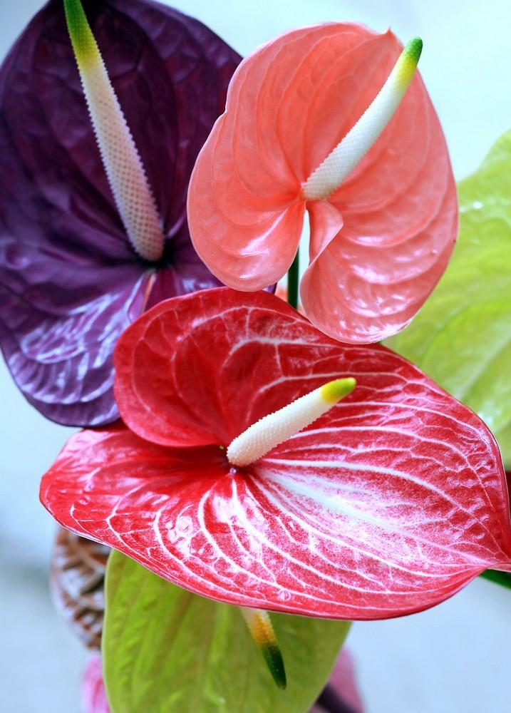 Как размножается мужское счастье цветок