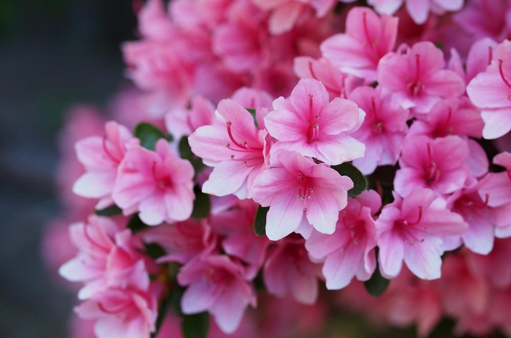 Цветок азалия — как ухаживать в домашних условиях за комнатной азалией