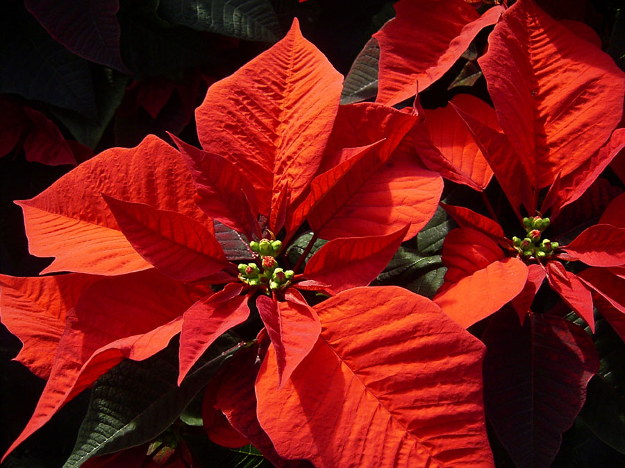 poinsettia_big