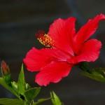 1024px-Hibiscus_rosa-sinensis2_43