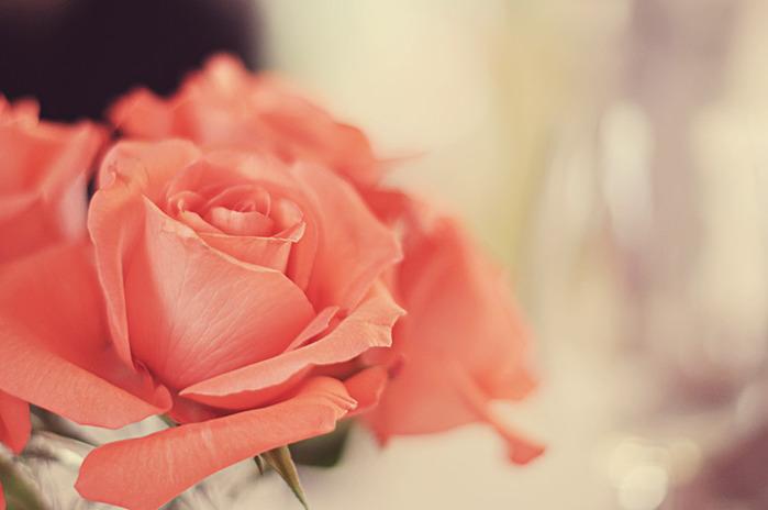 Как пересадить розу комнатную после покупки