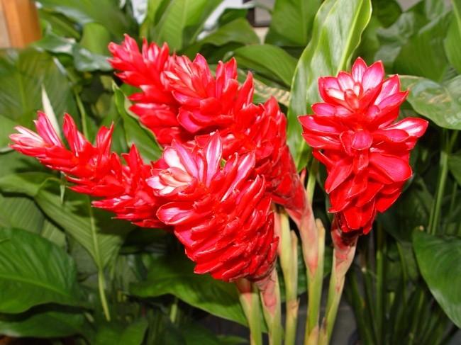 Цветок имбиря растение