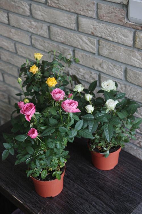 Фото цветка домашняя роза 9