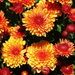 Chrysanthemum01