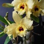 Dendrobium_nobile_hybrid