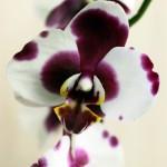 Пересадка орхидеи03