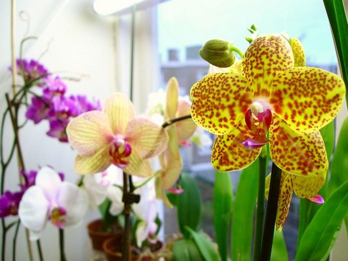 Как пересаживать цветущую орхидею в домашних условиях 383