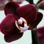 Пересадка орхидеи09