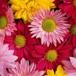 Raznocvetnye-hrizantemy-4084