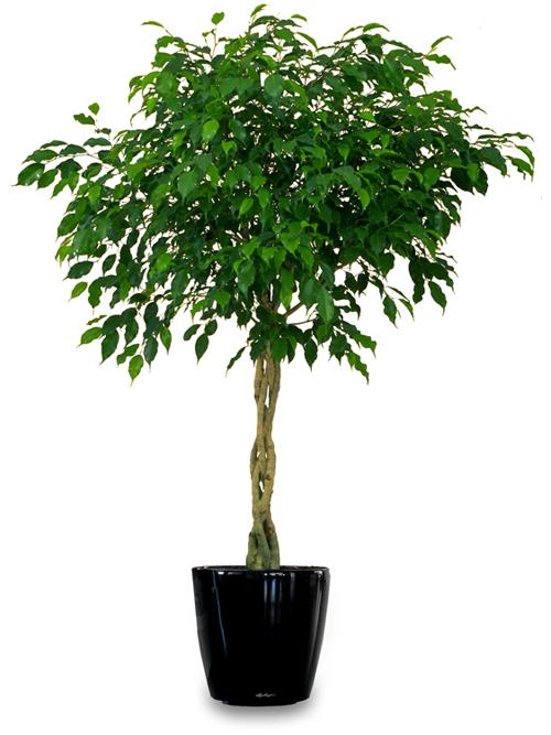 Фикус уход в домашних условиях опадают листья 138