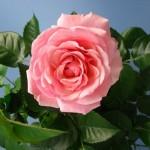 roza-komnatnaya-uxod