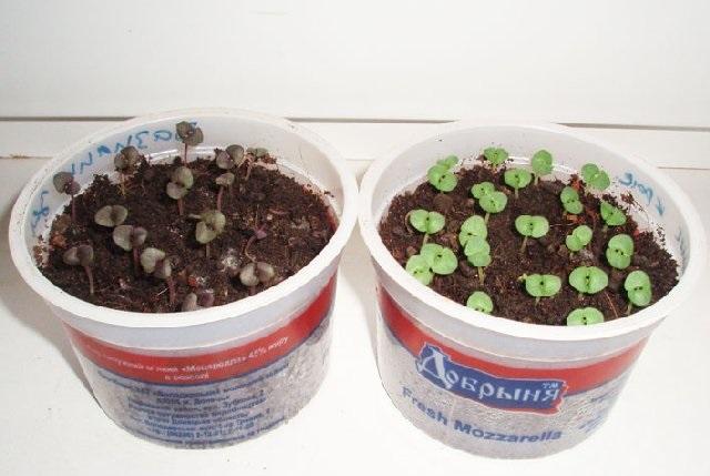 Семена базилика перед посадкой
