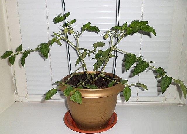 pomidori1