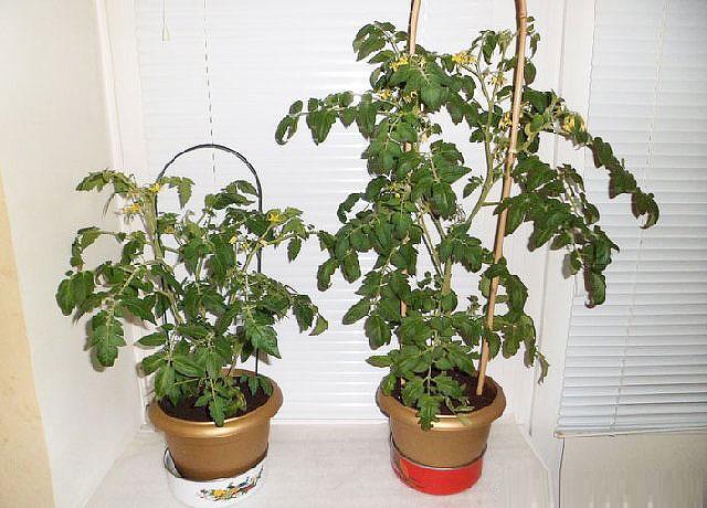 pomidori12