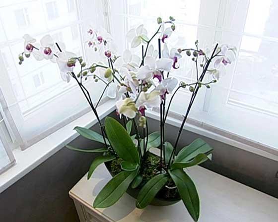 orhidea_vspalne10