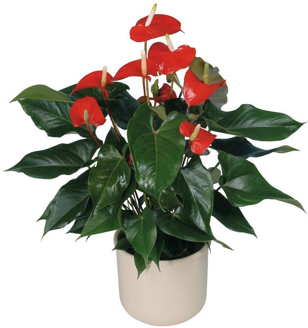 Все о домашнем цветке антуриум