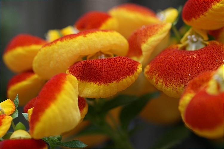 Calceolaria herbeohybrida Voss
