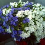 Цветок невеста. Уход в домашних условиях