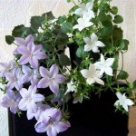 Домашний цветок Кампанула: хитрости ухода. Как продлить цветение