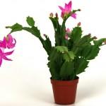 Декабрист - домашний цветок. Уход