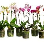 Пересадка орхидеи в домашних условиях. Когда нужно пересаживать