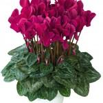 Комнатные цикламены: уход во время и после цветения