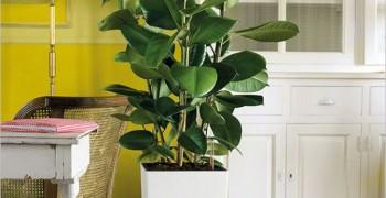 Фикус домашнее растение. Куда поставить и как ухаживать