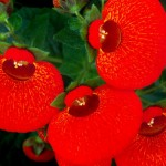 Уход за кальцеолярией в домашних условиях. Виды цветка с фото