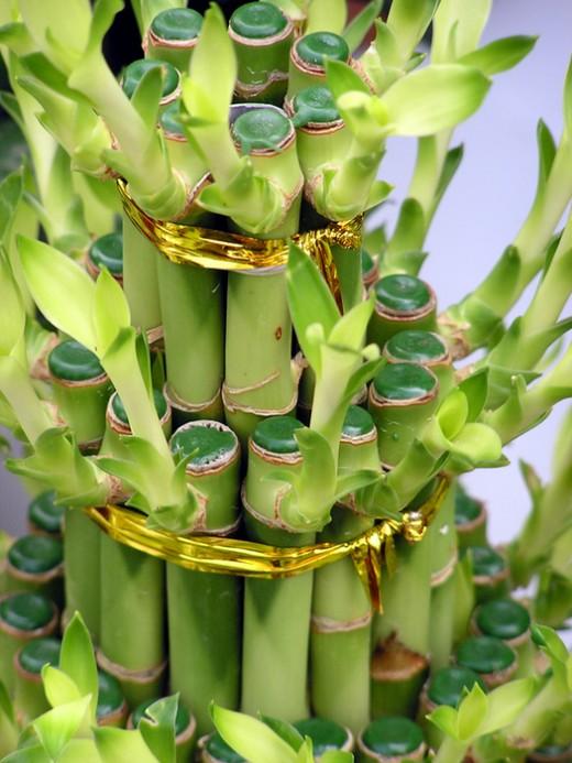 lucky_bamboo02