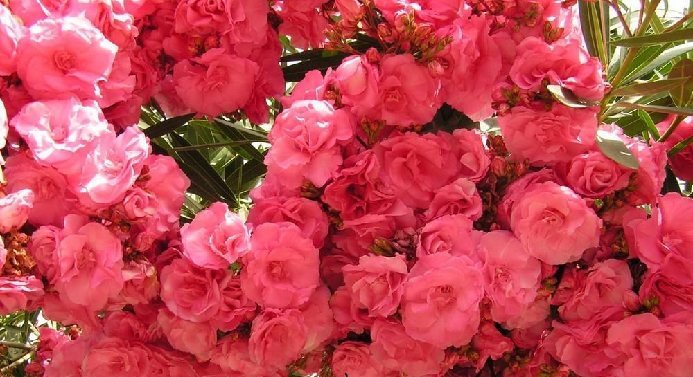 Ядовитые домашние цветы. Фото и названия
