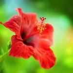 Цветок гибискус комнатный: уход в домашних условиях