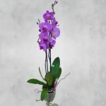 Орхидея фаленопсис: уход в домашних условиях. Чем подкармливать