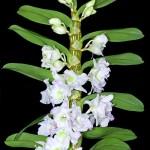Орхидея дендробиум нобиле: уход в домашних условиях. Фото