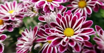 Комнатные хризантемы: как правильно ухаживать, чтоб цвели
