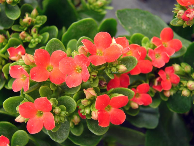 Photo Kalanchoe blossfeldiana / Фото Каланхоэ Блоссфельда / Фото Каланхое Блоссфельда