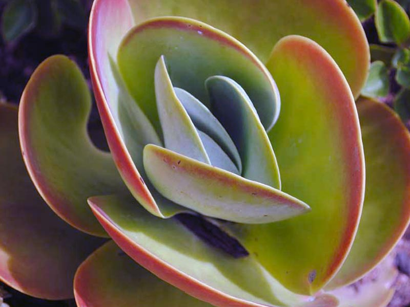 Photo Kalanchoe thyrsiflora / Фото Каланхоэ метельчатоцветковое / Фото Каланхое волотистоквіткове