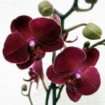 Как пересадить орхидею пошагово. Можно ли пересаживать цветущую орхидею?