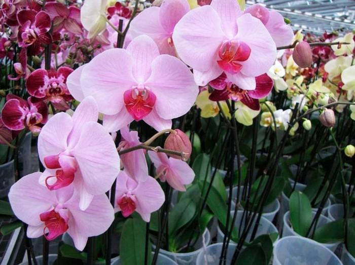 Пересадка орхидеи07
