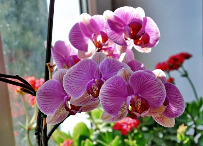 Пересадка орхидеи08