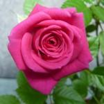 Пересадка розы комнатной. Как правильно пересадить. Видео