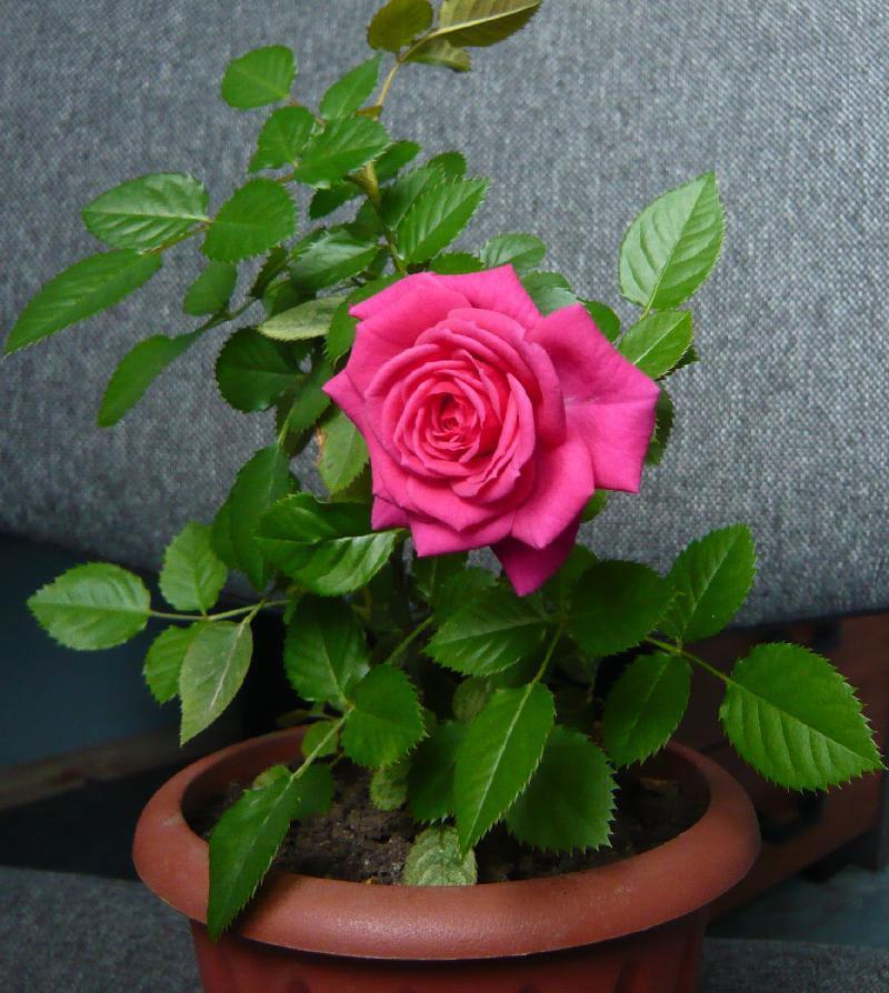Состав грунта для комнатных роз