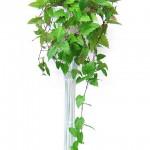 Комнатный цветок березка можно ли держать дома