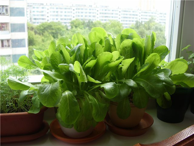 Как вырастить шпинат на подоконнике