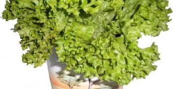 Листовой салат на подоконнике. Выращивание из семян