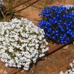 Лобелия. Выращивание из семян